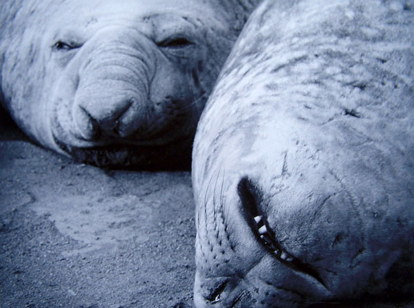 Judy Parrott Moulting Elephant seals in their wallow beside Davis Station 2006 silver gelatin photograph 46.5 X 54.3 X 2.1