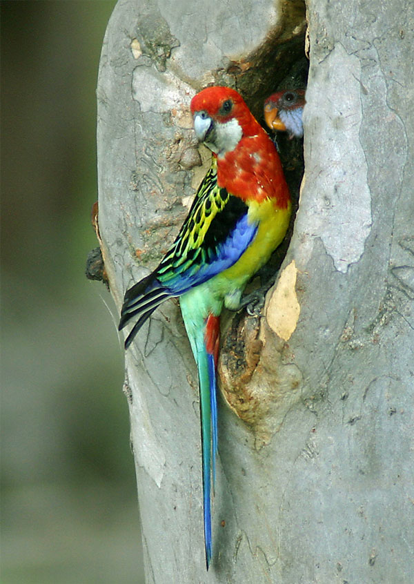 Jim Thomson, Eastern rosella and chick, 2009, digital print